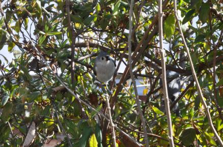 Two titmice perched in an azalea bush.