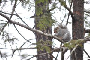 A three legged squirrel in a tree eating a peanut.