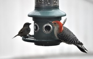 A red-bellied woodpecker and some house sparrows at a bird feeder.