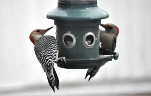 Two red-bellied woodpeckers, one male and one female, at a bird feeder.