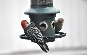 The same two woodpeckers as in the previous photo still at the feeder.