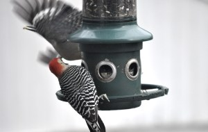 The male woodpecker is still on the feeder and the female woodpecker is flying away.