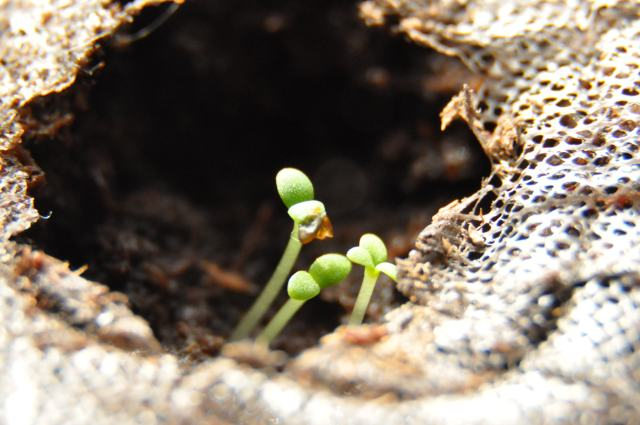 Very young seedling in a peat pellet.