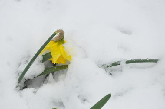 A daffodil crushed by heavy snow.