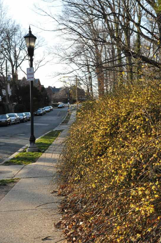 Forsythia bushes in bloom lining a path along a quite side street.