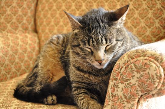 A tabby cat with his eyes closed on an arm chair.