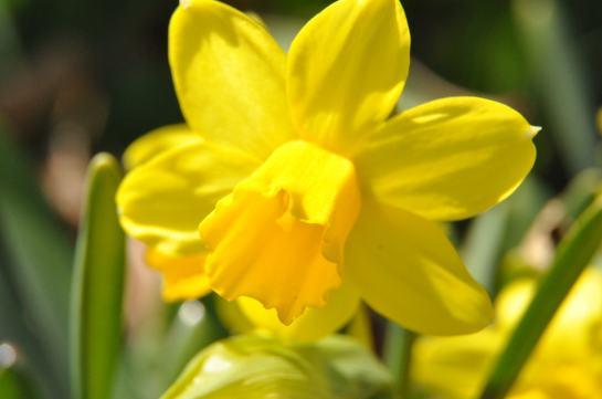 A daffodil in full bloom in the sunlight.