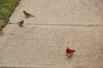 Two house sparrows and a male Cardinal on the sidewalk.