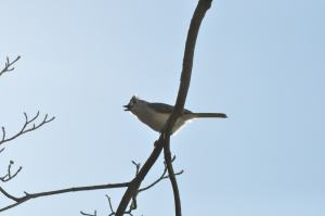 A titmouse singing.