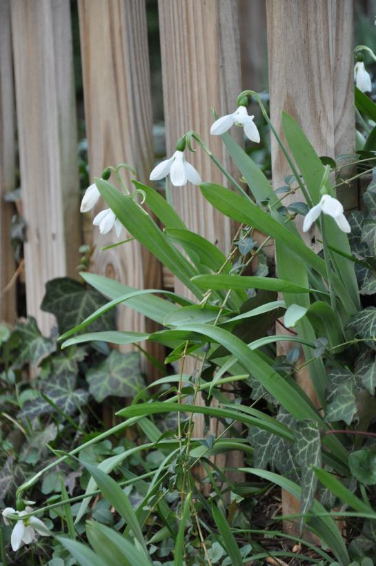 Snowdrops growing along a fence.