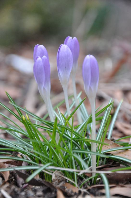 Crocus buds that have not yet fully opened.