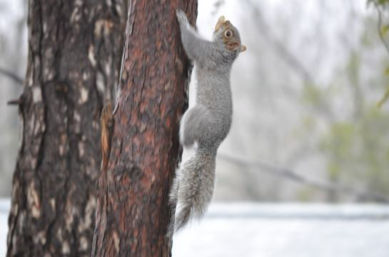 Tripod, the three legged squirrel running up a tree with a peanut in his mouth.