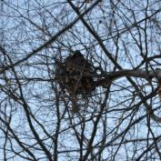 A squirrel's nest.