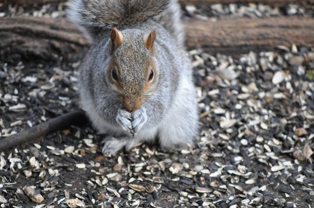 A three footed squirrel eating birdseed on the ground.