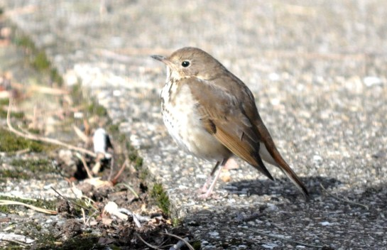 A hermit thrush on a concrete patio.