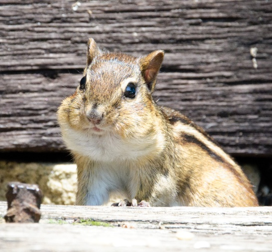 Close-up of a chipmunk with stuffed cheeks.