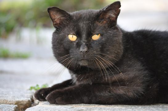 An old, beat-up cat with scars on his nose and a torn ear sitting on a flagstone path.