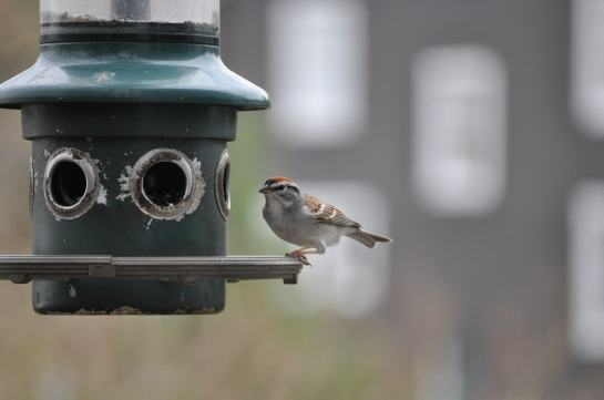 A chipping sparrow at a bird feeder.