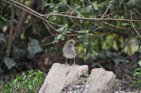 A White-Throated Sparrow under a bush.