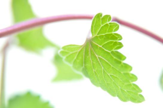 A catnip leaf and stem.