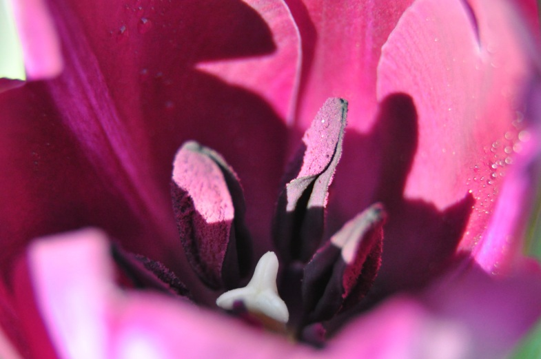 The interior of a tulip.