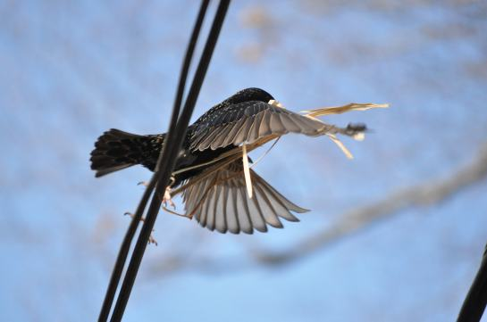 A Starling taking off from a telephone wire with straw in its beak.