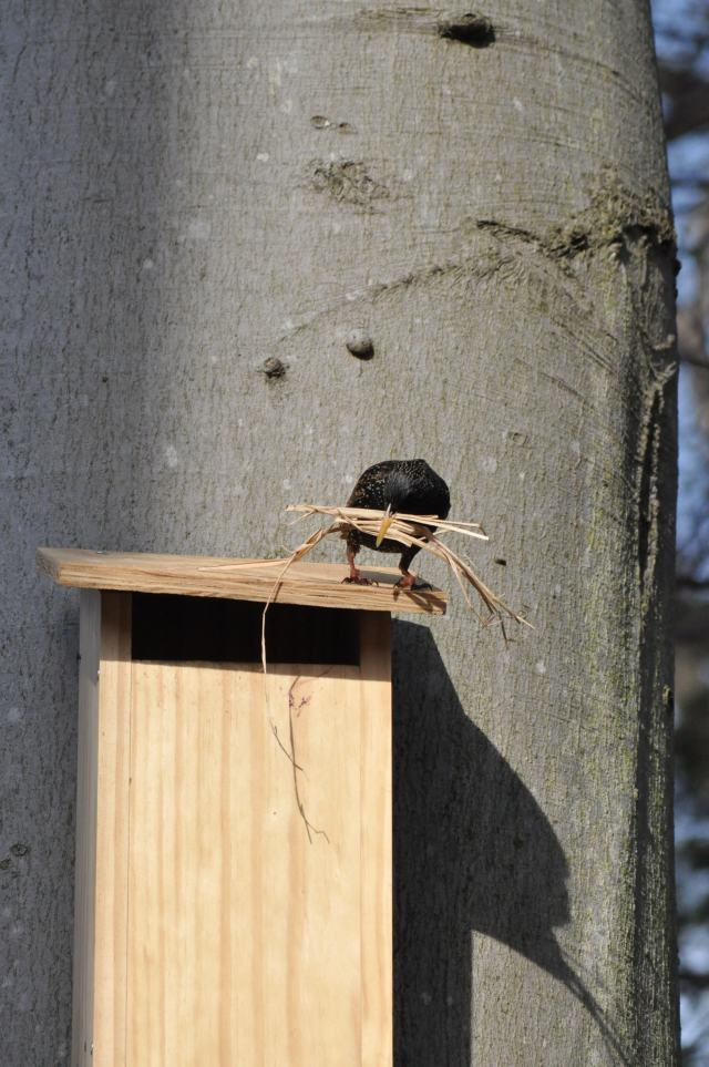 A Starling sitting on top of a nestbox, looking at the entrance.