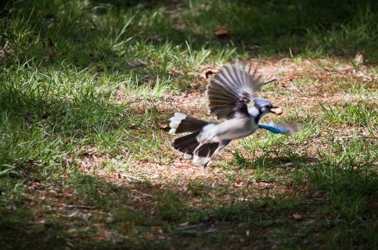 A Blue Jay taking off with a peanut in its beak.