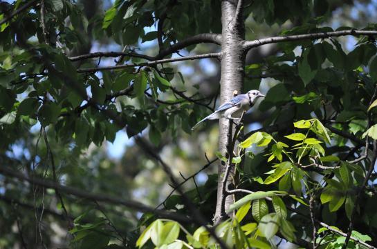 A Blue Jay in a treel