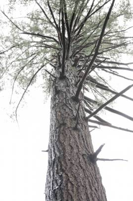 A giant hemlock in Swallow Falls State Park.