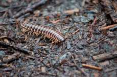 A striking striped milipede who blends in with the pine needles on the forest floor.