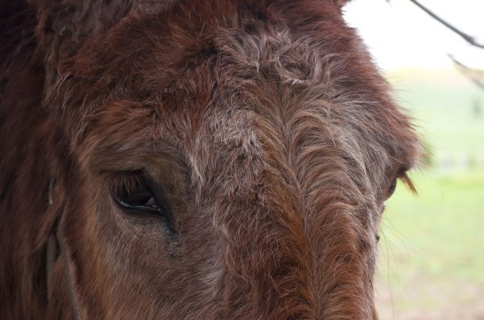 A close up of the eyes of a mule.