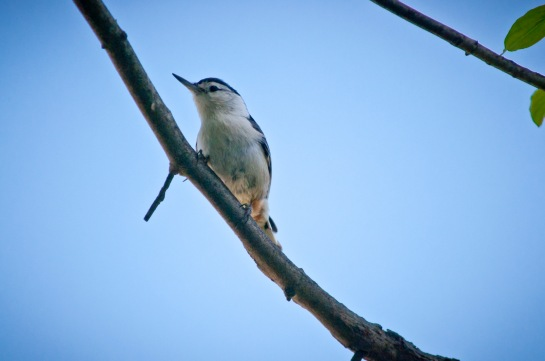 A White-breasted Nuthatch perched on the branch of a dogwood tree.