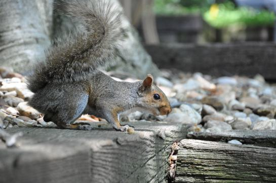 A photo of a young male squirrel.