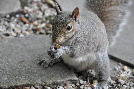 A squirrel eating a peanut.
