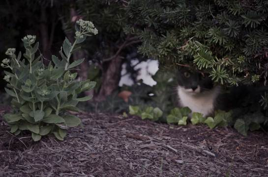 A skinny cat lurking under a bush.