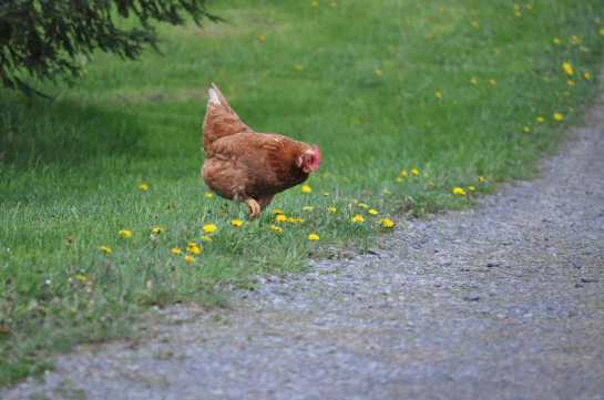 A chicken in the grass heading towards a road.