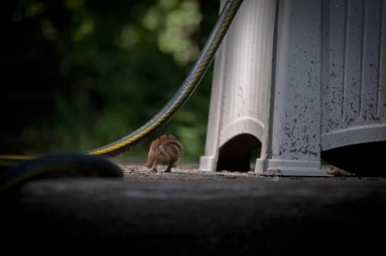 A chipmunk running away under a garden hose.