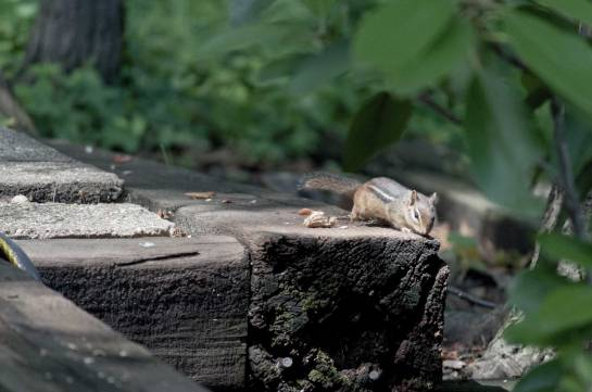 A chipmunk walking along some railroad ties towards the camera.