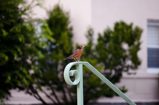 A robin on a wrought iron bannister.