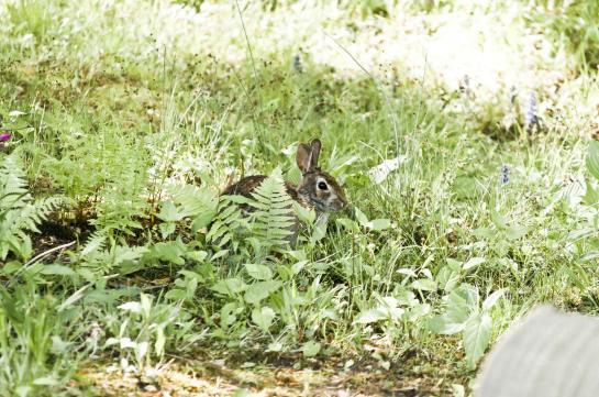 Bunny among ferns.