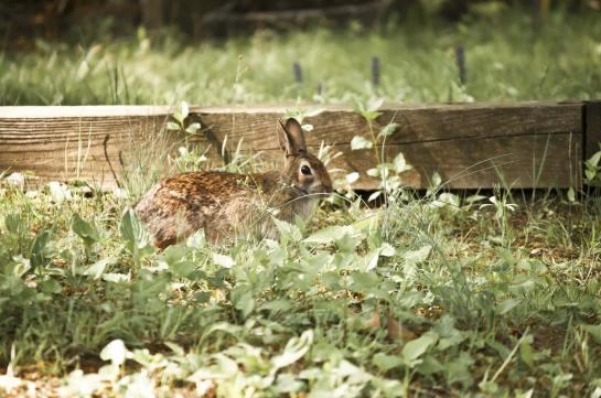Bunny among weeds.