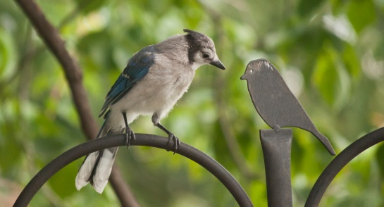 Young blue sitting ontop of a support for a birdfider looking at a metal silouhette of a bird.