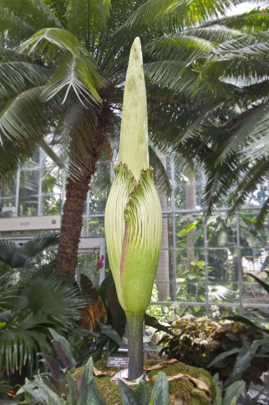 The titan arum looking ready to bloom.