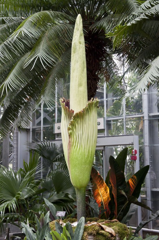 corpse_flower_at_five