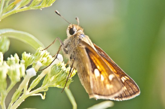 A small brown butterfly which I have tentatively identified as a Dun Skipper. If anyone is more certain, please let me know.