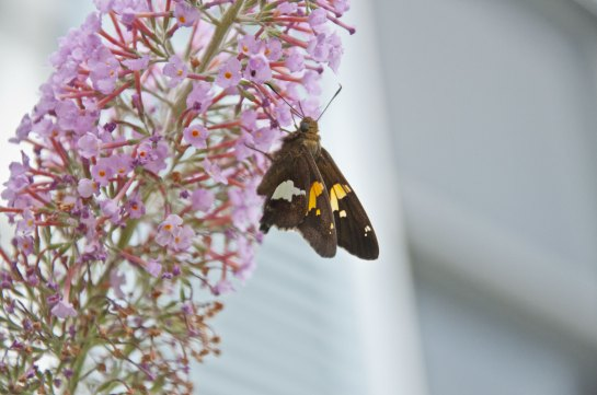 A silver spotted skipper butterfly on a butterfly bush.