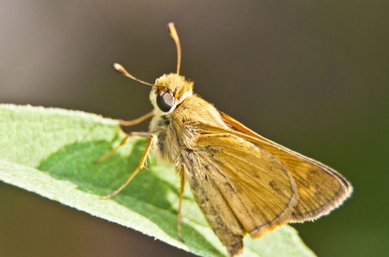 Some sort of skipper butterfly on a leaf.