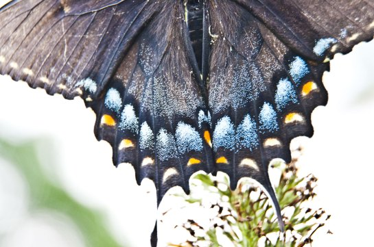 A portion of the hindwings of a spicebush butterfly.