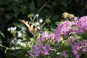tiger_swallowtail_and_flowers